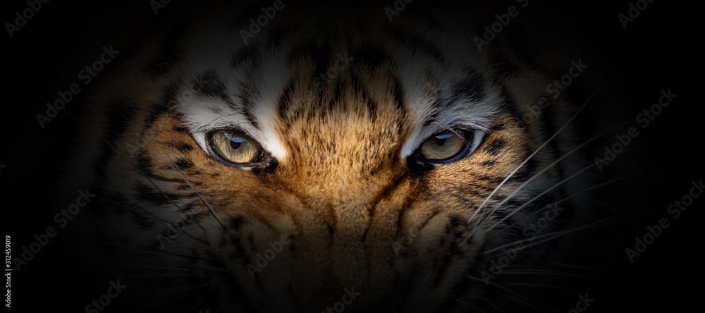Fototapeta Tiger portrait on a black background