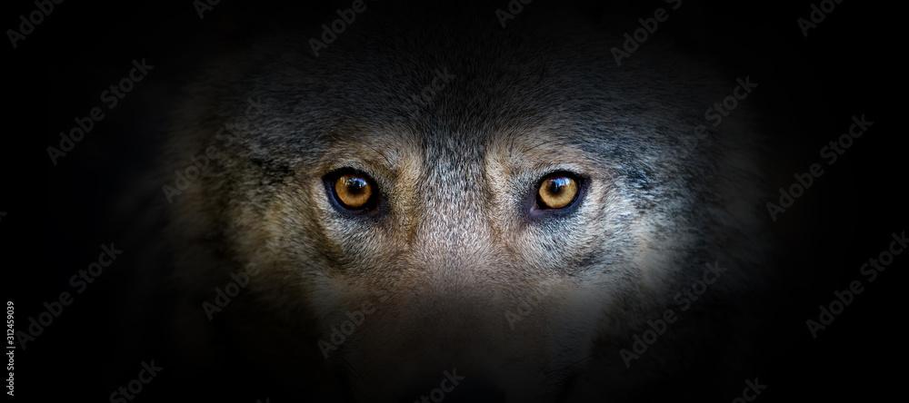 Fototapeta Wolf portrait on a black background