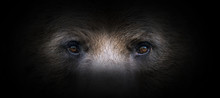 Bear Portrait On A Black Backg...