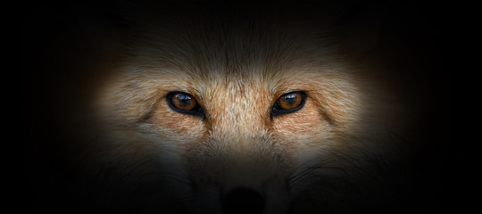Red fox portrait on a black background