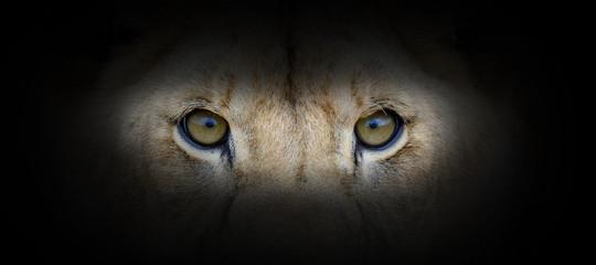 Lion portrait on a black background