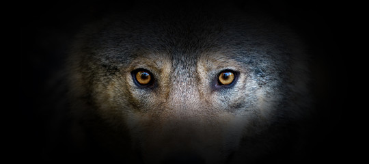 Wolf portrait on a black background