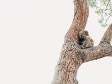 A Wild Koala On A Tree Looking...