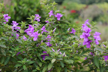 Firecracker Flower Or Crossandra Flower Bed For Butterflies