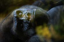 Closeup Of A Gorilla Resting I...