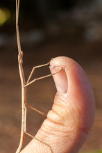 Brown Stick Insect (Diapherome...