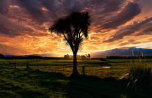 Cabbage Tree In Sunset