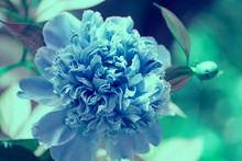 Blooming Blue Vintage Peony Flower In The Garden. Flower Nature Background