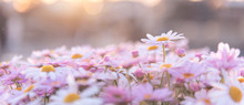 Flowering Of White Purple Dais...