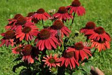 Roter Sonnenhut Im Garten