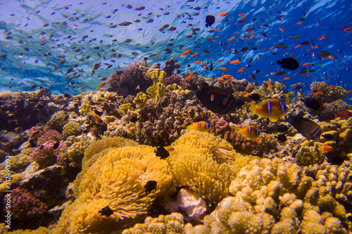 Beautiful coral reef with anemone and clown fish in the red sea