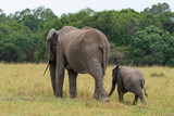 An elephant family with its calf grazing in the plains of Africa inside Masai Mara National Reserve during a wildlife safari