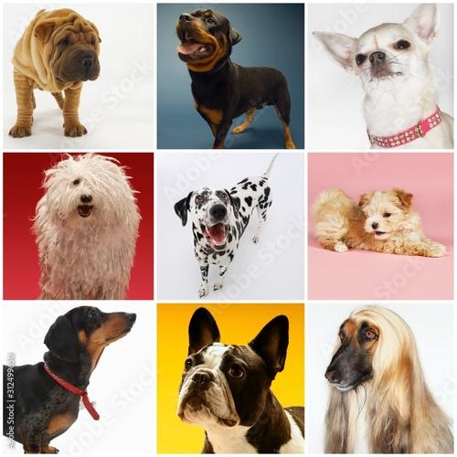 Fototapeta Collage of various pet dogs obraz na płótnie