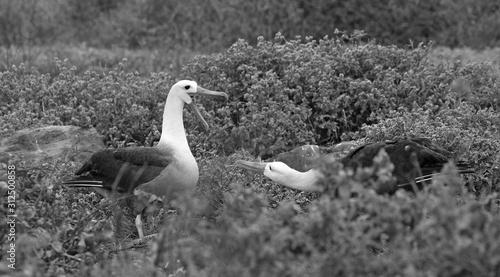 Fototapeta  Galapagos islands native albatros dancing in the day
