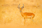 Fototapeta Sawanna - Impala in golden grass. Beautiful impala in the grass with evening sun. Animal in the nature habitat. Sunset in Africa wildlife. Implala antelope lying in the grass savannah, Okavango South Africa.
