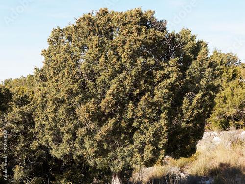 Fotografía (Juniperus phoenicea turbinata) Phoenicean junipera in garrigue of Provence with