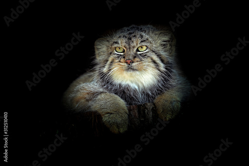 Manul in the dark habitat, cat form Asia. Pallas's cat or Manul, Otocolobus manul, cute wild cat from Mongolia. Wildlife scene from the nature. Animal in the nature habitat. Portrait of cat.