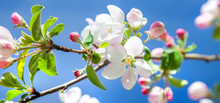 Beautiful Apple Tree Blossom I...