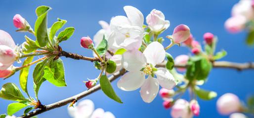 Fototapeta Drzewa beautiful apple tree blossom in spring