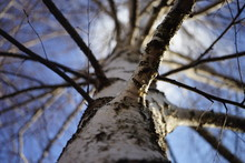 Birch Tree Trunk Closeup, View Up To The Blue Sky.
