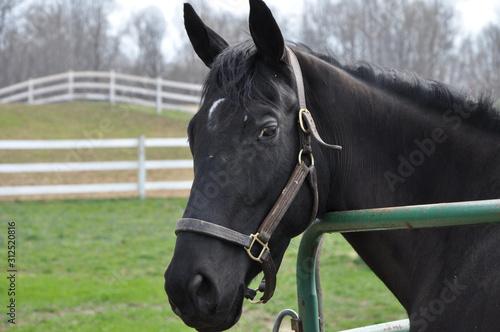 Black horse gaze
