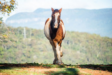 Clydesdale Horse Approaches In...