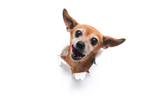 Funny Bug-eyed Muzzle. The Head Of Old Dog Through A Hole On A White Torn Paper Background. Russian Toy Terrier. ?opy Space, Isolated. Concept Of Spy, Curiosity And Snoop. Appetite And Lick.