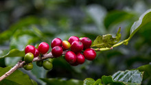 Coffee Beans Before Harvest, A...