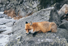 Wild Red Fox Sleeping On The R...