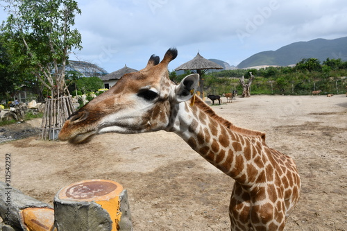 Fototapeta giraffe in zoo animal wild nature obraz