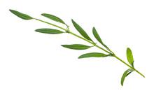 Twig Of Fresh Hyssop (hyssopus) Herb Isolated