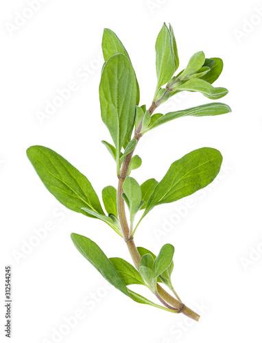 Fototapeta fresh marjoram (Origanum majorana) herb isolated obraz