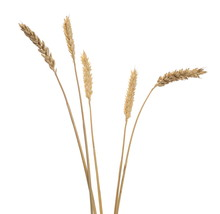 Dry Wheat Ears, Crops Isolated...