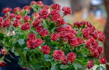 Composizione Di Solo Rose Rosse