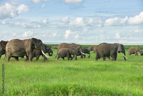 Fotografie, Obraz Large herd of African bush elephant (loxodonta africana) walking in open grassla