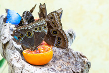 The Owl Butterflies, The Genus Caligo, Are Known For Their Huge Eyespots, Which Resemble Owls' Eyes. They Are Found In The Rainforests And Secondary Forests Of Mexico, Central, And South America