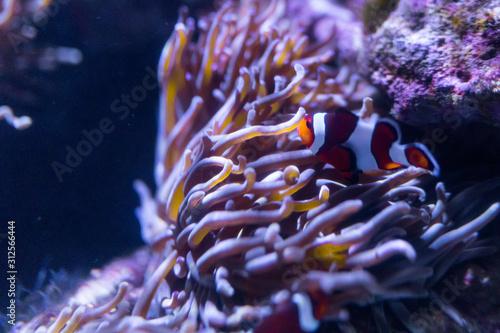 Fotografie, Obraz Anemonenfisch auf den Bahamas, Karibik