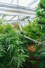 Plantation Of Organic Medical Marijuana.