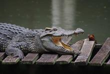 Close Up Of Crocodile's Head.