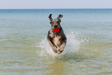 Great Dane Dog With Ball Running On Water