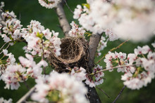 Overhead View Of Empty Bird Nest In Cherry Blossoms