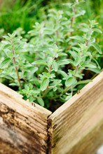 Fresh Thyme In A Wooden Box