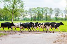 Dairy Herd Walking On The Pasture