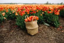 Orange Tulips In Basket