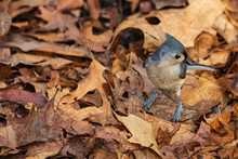 Tufted Titmouse Standing In Le...