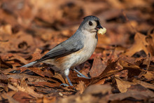 Tufted Titmouse In Leaves With...