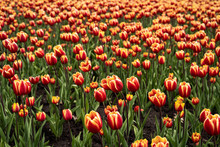 Red And Yellow Tulip Field In ...