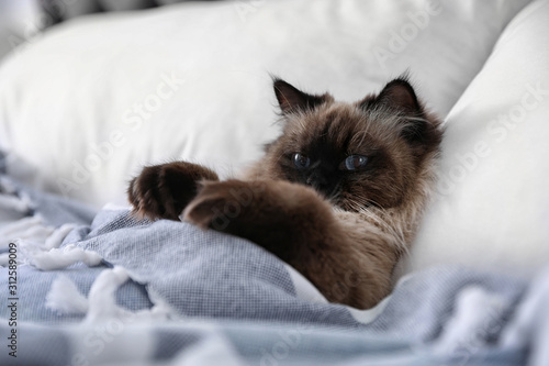 Obraz Cute Balinese cat covered with blanket on bed at home. Fluffy pet - fototapety do salonu