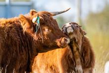 Moment De Tendresse, Une Vache Highland Race Bovine écossaise, Robe Rouge Foncé Avec Des Cornes Avec Son Petit Veau Faisant Un Calin.
