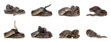 Photos Of Boa Constrictor On White Background, Collage